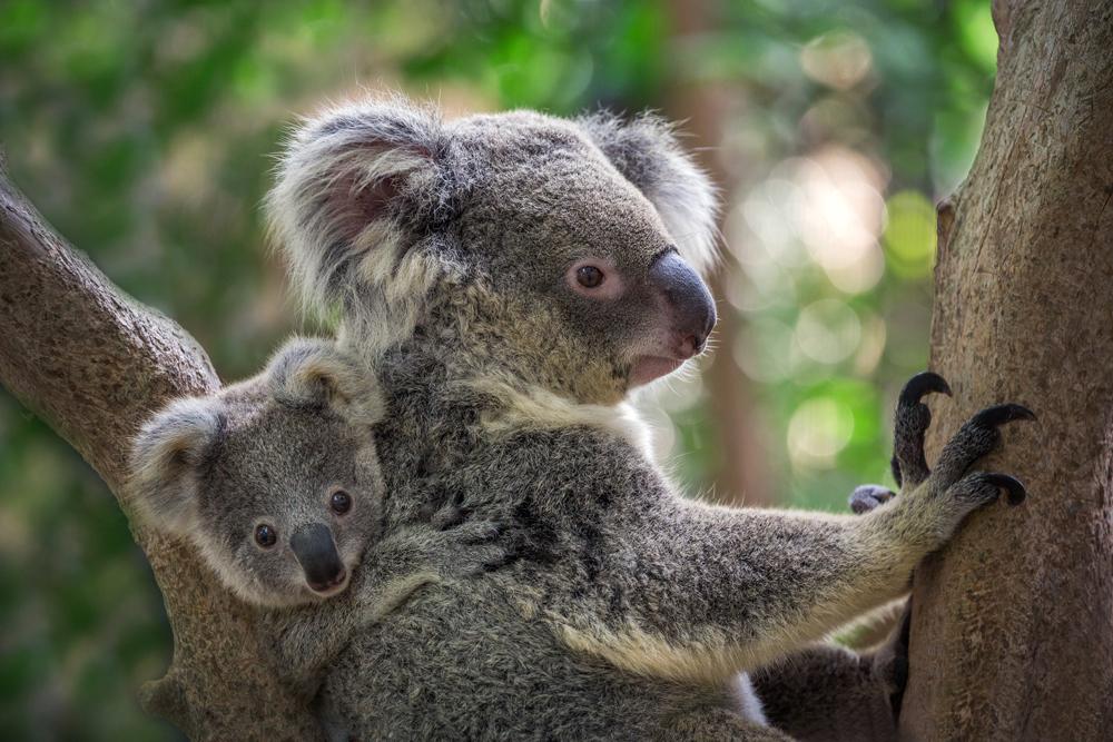 Significato koala